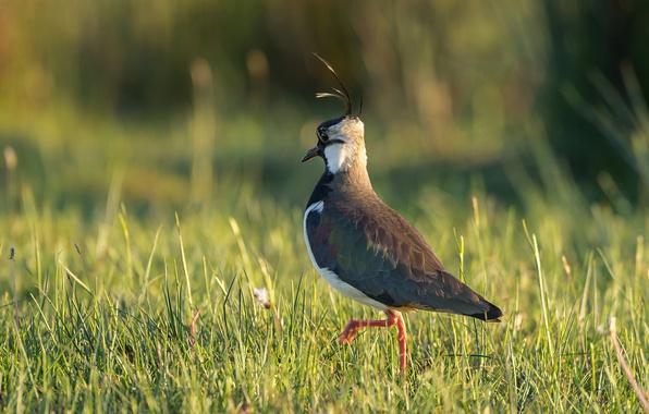 Картинка трава, природа, птица, чибис