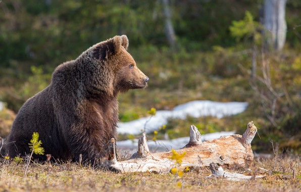 Картинка лес, природа, животное, хищник, медведь, брёвна, Peter Grischott