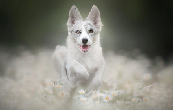 Картинка морда, цветы, лапа, ромашки, собака, щенок, боке