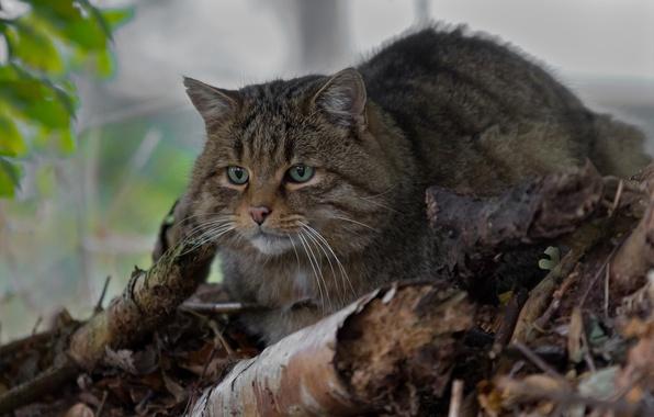 Картинка дикая кошка, лесной кот, лесная кошка