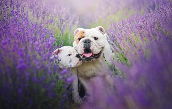 Картинка поле, язык, собаки, лето, цветы, настроение, две, щенок, двое, лаванда, привязанность, английский бульдог, бульдоги, мама …