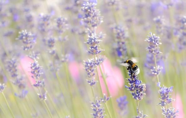 Картинка цветы, природа, насекомое, шмель, лаванда