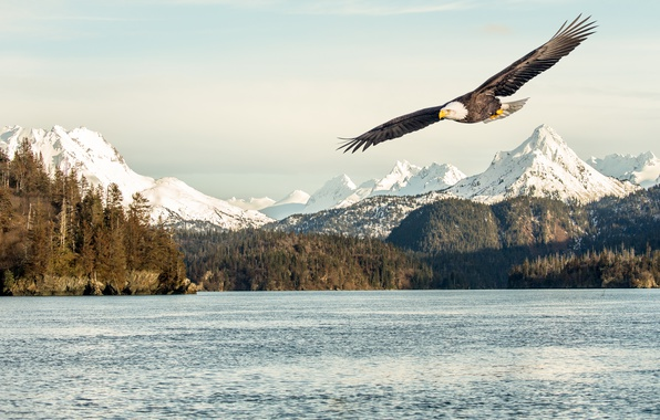 Картинка sea, flying, bird, flight, mountains, snow, sunlight, bald eagle
