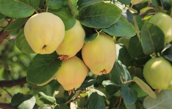 Картинка природа, дерево, плоды, айва