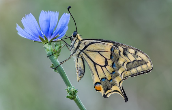 Картинка цветок, бабочка, махаон, цикорий