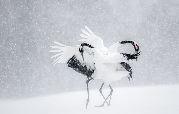 Картинка зима, снег, птицы, танец, Япония, журавли