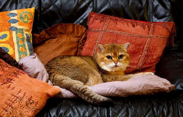 Картинка кот, подушки, красавец