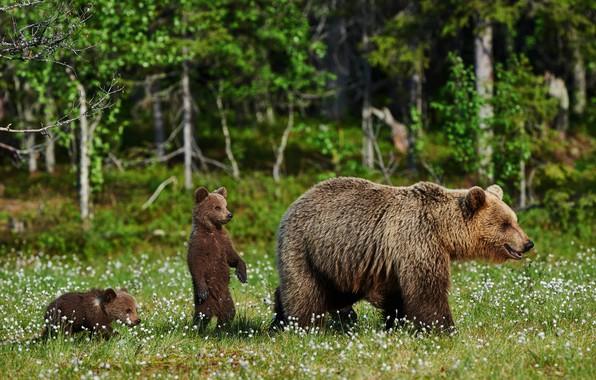 Картинка зелень, лес, лето, трава, деревья, цветы, природа, поляна, медведь, медвежата, боке, бурый