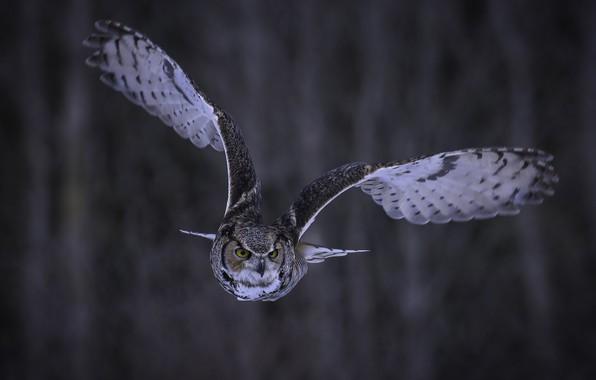 Картинка взгляд, полет, фон, сова