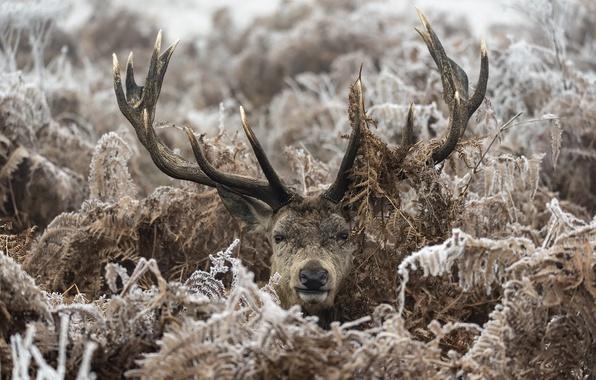 Картинка зима, лес, олень, папоротники