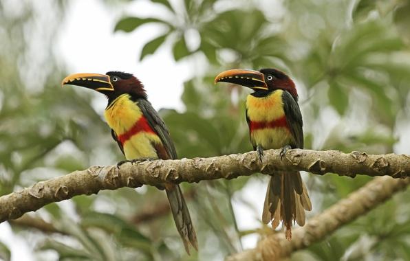 Картинка forest, birds, couple, chestnut-eared Aracari