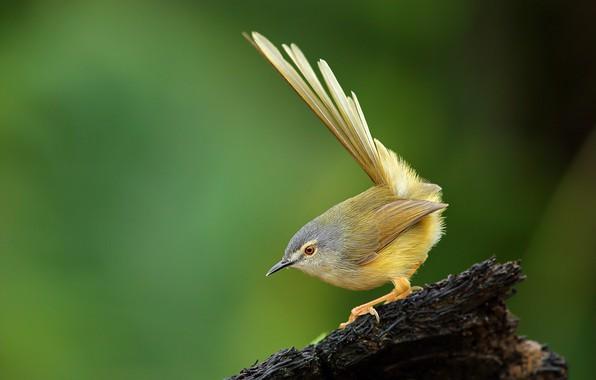 Картинка птицы, пень, animal, желтобрюхая приния