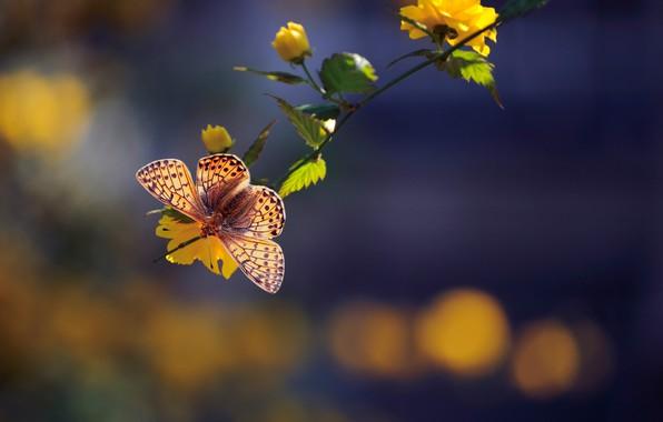 Картинка макро, бабочка, ветка, цветки, боке, Керрия японская, Перламутровка