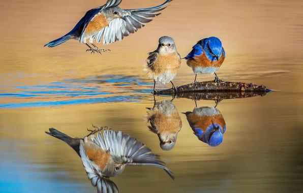 Картинка вода, птицы, отражение, крылья, западная сиалия