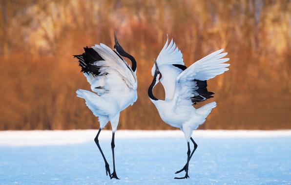 Картинка снег, фон, танец, пара, журавли