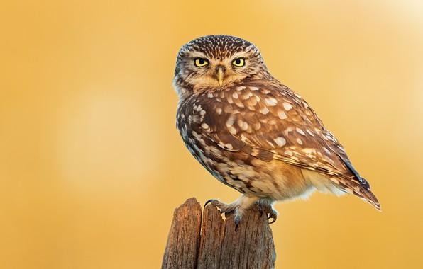 Картинка птицы, сова, пень, animal