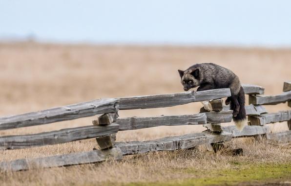 Фото обои забор, ситуация, лиса, чернобурка, чернобурая лисица