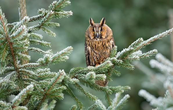 Картинка зима, зелень, лес, снег, деревья, ветки, природа, фон, сова, птица, хвоя, боке