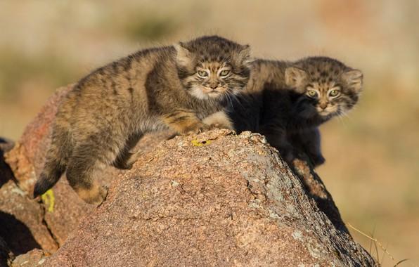 Фото обои камень, котята, Манул, детёныши, парочка