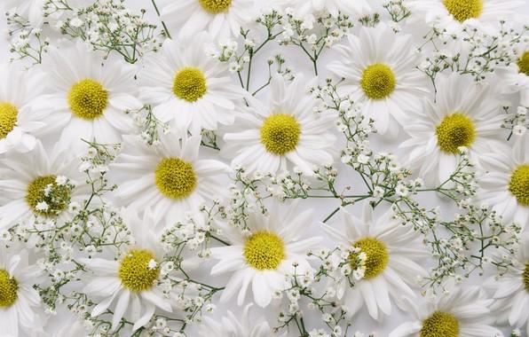 Картинка цветы, фон, ветка, хризантемы, декор