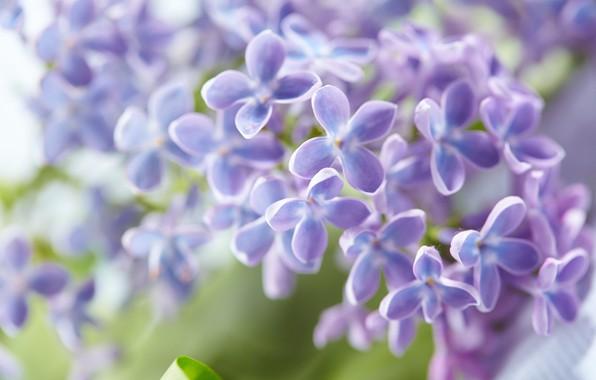 Картинка листья, цветы, весна, цветение, сирень