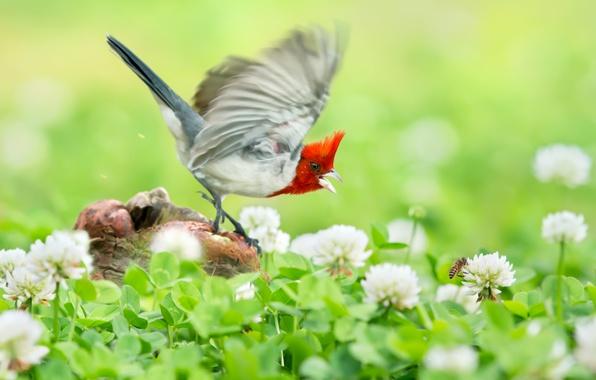 Картинка полет, цветы, птица, гнездо, клевер, Краснохохлая кардиналовая овсянка