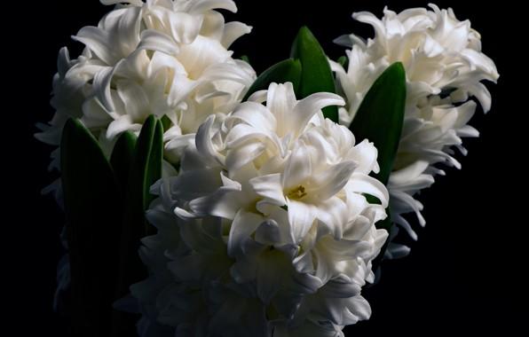 Фото обои белый, макро, гиацинт