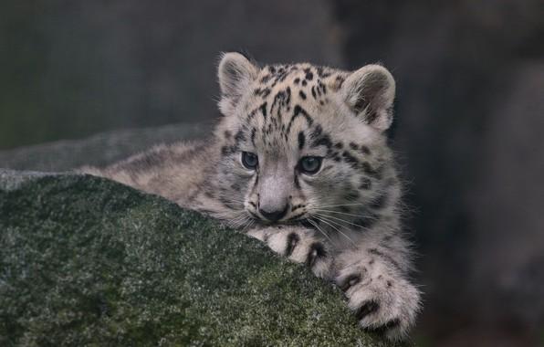 Картинка камень, ирбис, снежный барс, детёныш, котёнок, снежный леопард