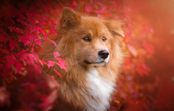 Картинка осень, листья, ветки, природа, животное, собака, пёс, Birgit Chytracek, ойразиер, евразиер