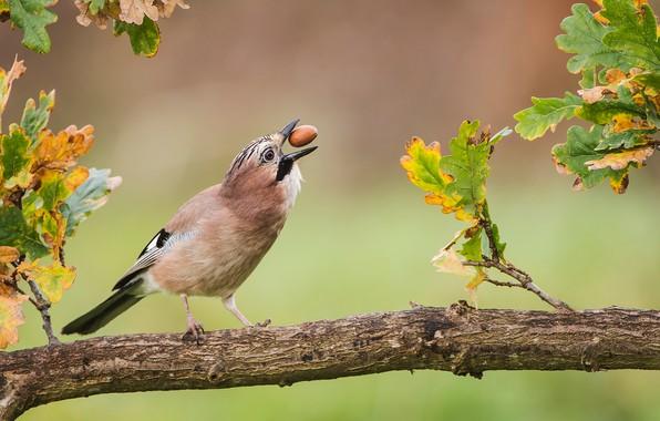 Картинка осень, листья, птица, ветка, дуб, жёлудь, Сойка