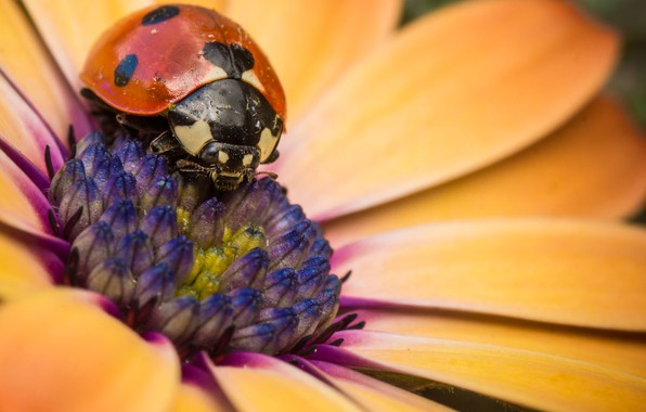 Картинка цветок, божья коровка, лепестки, насекомое