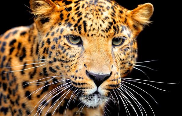 Картинка усы, морда, хищник, ягуар, черный фон, боке