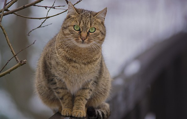 Картинка ветки, размытость, полосатая кошка, на заборе