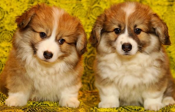 Картинка собаки, желтый, фон, портрет, щенки, ткань, пушистые, рыжие, парочка, два, сидят, мордашки, милахи