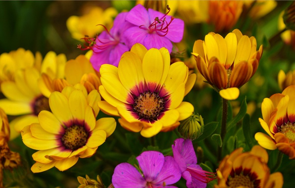 Картинка Весна, Цветочки, Flowers, Spring, Colors, Остеоспермум
