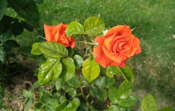 Картинка Rose, Orange rose, Оранжевая роза
