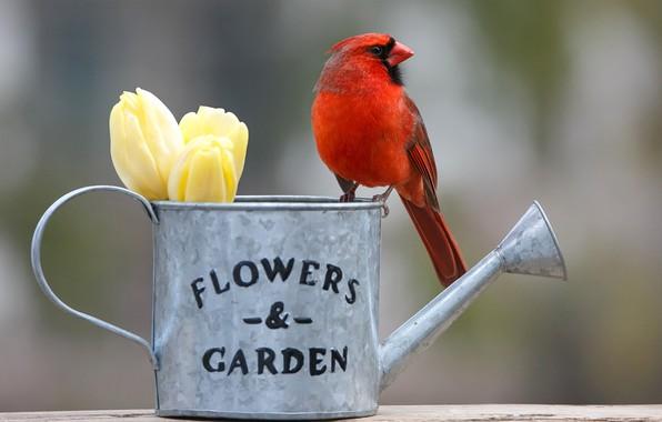 Картинка цветы, фон, птица, тюльпаны, лейка, бутоны, боке, Красный кардинал