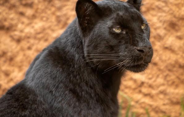 Картинка взгляд, морда, портрет, леопард, дикая кошка, чёрная пантера