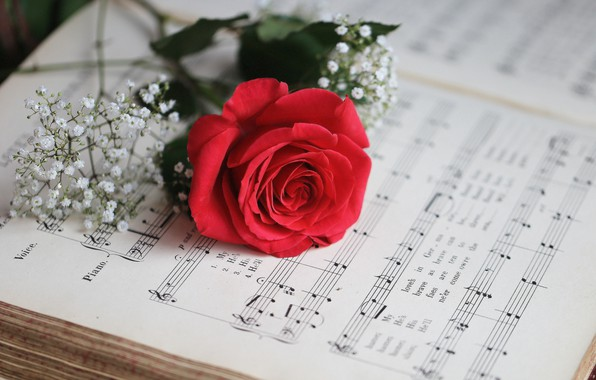 Картинка ноты, розовая, роза, лепестки, бутон, цветение, гипсофила
