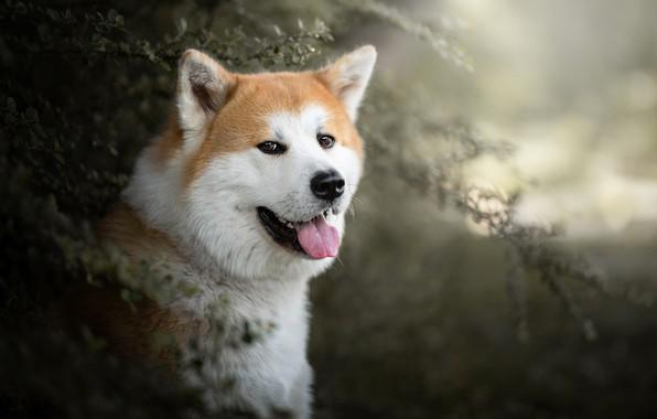 Картинка язык, взгляд, морда, портрет, собака, боке, Акита ину