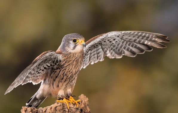 Картинка крупный план, фон, птица, крылья, перья, клюв, когти, сокол, боке, Пустельга, Kestrel