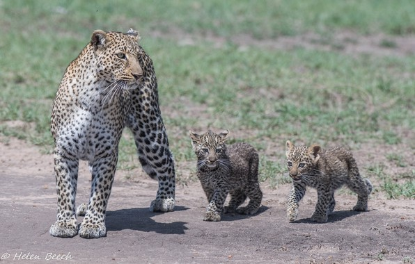 Картинка хищники, семья, Африка, дикие кошки, трио, леопарды, семейство, мать, детёныши
