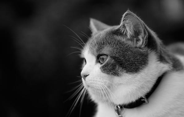 Картинка кошка, взгляд, портрет, мордочка, чёрно-белая, профиль, ошейник, монохром, котейка