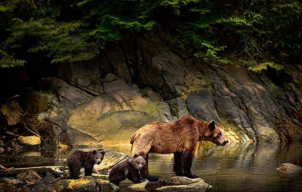 Картинка животные, вода, ветки, природа, камни, медведи, медвежата, медведица, детёныши, Michelle Valberg