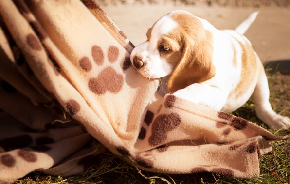 Картинка трава, игра, собака, малыш, щенок, одеяло, плед, бигль, отпечатки лап