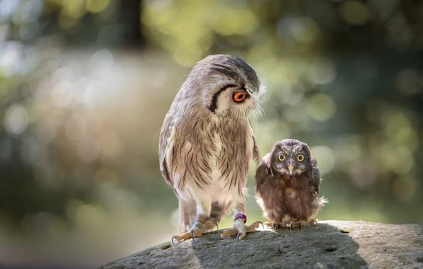 Картинка взгляд, птицы, природа, фон, сова, камень, две, маленький, большой, совы, парочка, забавные, боке, филин, сыч, ...