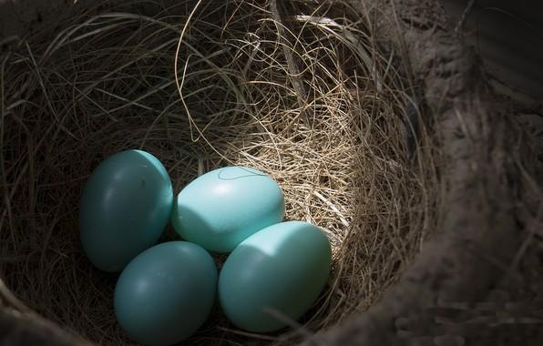 Картинка фон, гнездо, яица