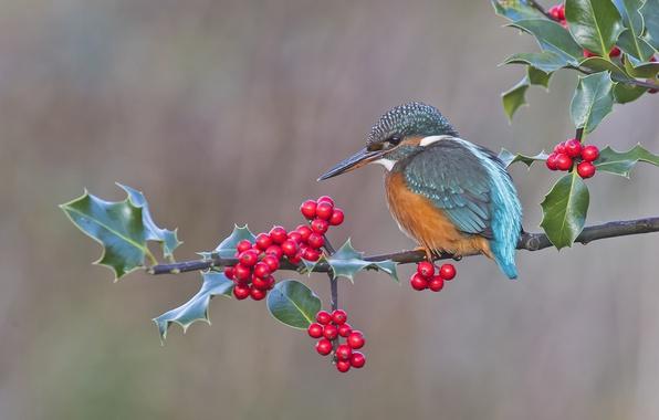 Картинка ягоды, фон, птица, ветка, зимородок, остролист, падуб