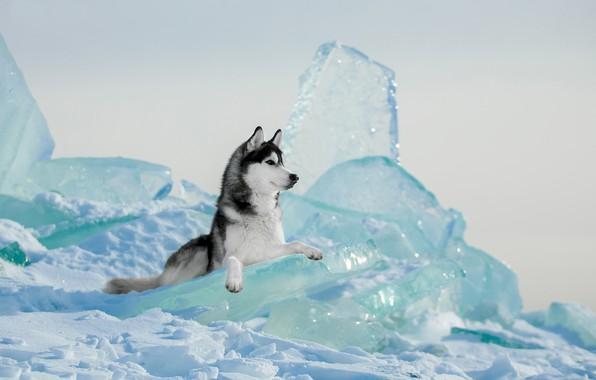 Картинка зима, лёд, собака, Хаски