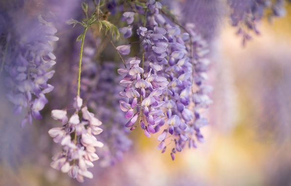 Картинка цветы, природа, весна, глициния, вистерия